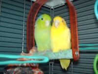 2xMale Parrotlets 15 Months Old £20 each or £50 pair with cage