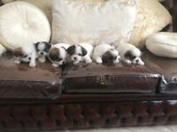 Shih tzu puppy 1/3 x for sale