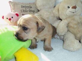 Shih Tzu x Miniature Schnauzer/Lakeland puppies for sale