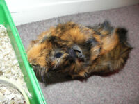 Guinea pig, Male, 1 year old