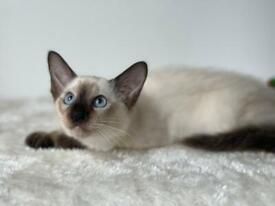Siamese litter available