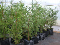 FAST GROWING HEDGING CONIFERS 16LT POTTED,160-180CM TALL,GREAT PRICE,£15,BE QUICK,QUICK!!!!!!!!!!