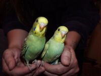 Super silly tame Hand reared baby Budgies READY NOW