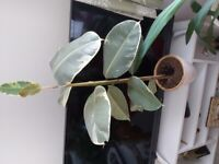 3 rubber plants and pots in pictures