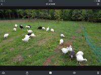 White turkey poults