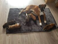 KC Boxer puppies for sale