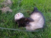 TWO HOB FERRETS FOR SALE ONE ALBIN0 AND ONE POLECAT VERY FRIENDLY WELL HANDLED NEVER WORKED