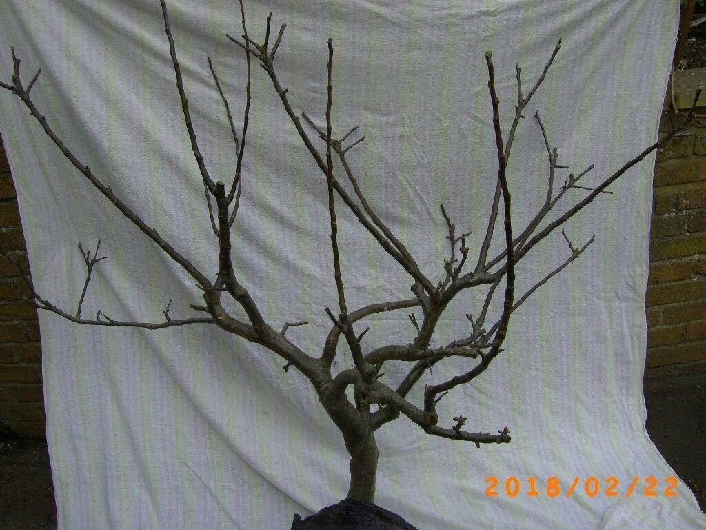 3ft APPLE Bramley Clone 20 Tree - Bristol (Oldland Common)