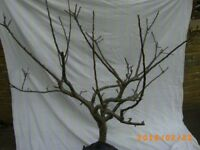 3ft APPLE Bramley Clone 20 Tree - Bristol (Oldland Common)