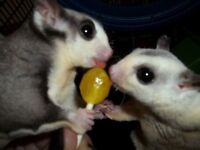 Hi selling my sugar glider s