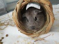 Jazz The Guinea Pig Needs A New Home