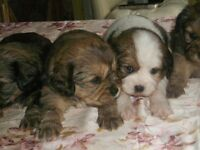 Tibalier puppies for sale