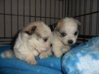 maltese x mico chihauhau pups tiny boys and girls non shedding
