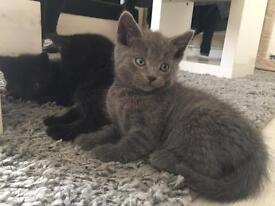 BLACK KITTENS 6+ WEEKS BOY/GIRL LONG FUR