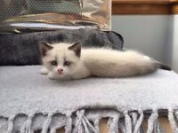 Half Ragdoll Half Turkish Van Kittens for Sale