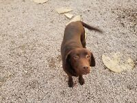 Loving home wanted for 2 x labradors aged 7 & 8 years