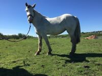 Grey cob mare for lwvtb