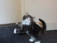 ... Lovely BSH x kittens ...