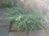 LARGRE GARDEN Conifer 8 years old