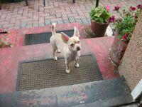 Deer Head Chihuahua Pup