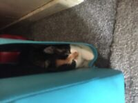Beautiful calico female kitten for sale