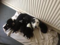 Border collies puppies girls only