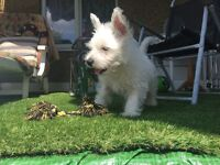 Excellent puppy West highland white terrier