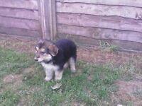 german shepherd puppies ready now