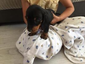 Dashchund puppy's for sale