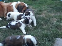 Absolutely gorgeous st Bernard puppies K.C Registered