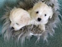Coton de tulear puppies kc champion line