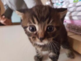 tabby kittens for sale ready in 1 week