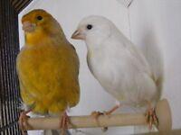 pair canaries