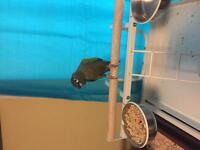 Green cheek conure plus cage