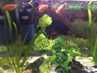 3 Red Honey Gourami for sale