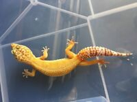 Sunglow tremper leopard geckos males and females available