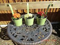 Primula plants in metal Hanging Pots