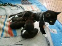 Kittens Available End of June