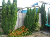 3 conifer trees tall 7/8 foot FREE to anyone that can dig out of my garden