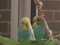baby budgies for sale £15 each
