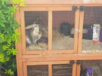 2 Rabbits and Hutch - seeking Home