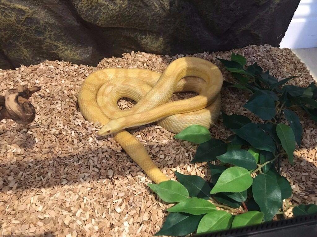Beautiful corn snake with everything she needs