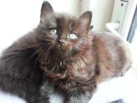 Choc/silver/black Maine Coon X kittens