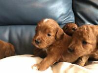 Fb1 cockapoo puppy's
