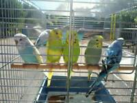 Hand tame baby budgies and brand new cage