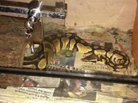 Royal python pastel 09