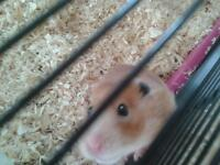 cream syrian hamster and pink cage