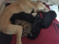Saluki Puppies for sale