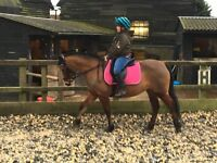 Welsh b mare 13.1