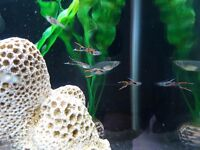 12 Pure Black Bar Endlers FRY, tropical fish, Local Collection / Delivery (Suffolk)